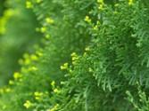 Cyprès Vert Bio