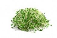 Alfalfa (Luzerne cultivée)